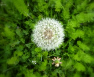 dandelion in the creative garden