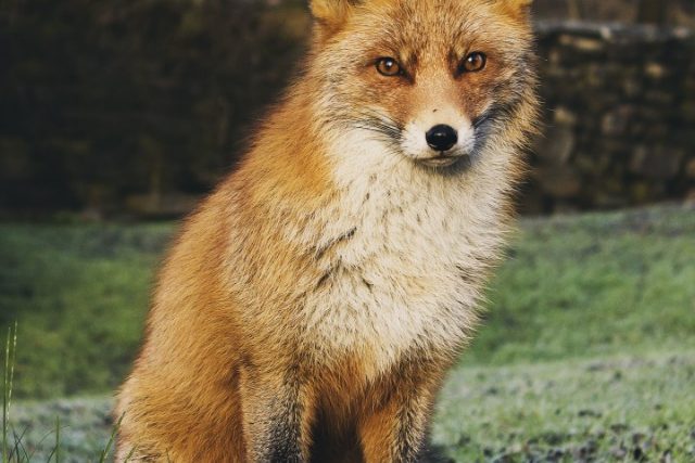 fox, animal symbolism, creativity, intution