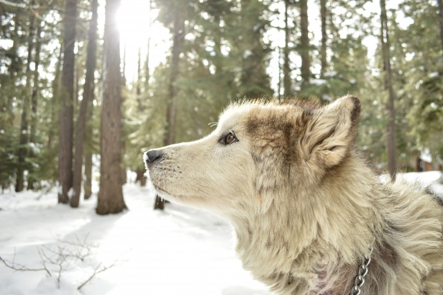 animal symbolism, wolf, winter